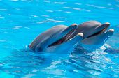 picture of dauphin  - happy dolphins in the blue water of the swimming pool - JPG