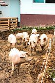 Herd Of Pigs At Pig Breeding Farm poster
