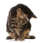 Maine Coon looking at wild mouse, 7 months old, in front of white background poster