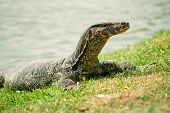 picture of goanna  - Large monitor lizard on the grass close - JPG