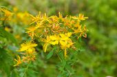 Flowering St Johns Wort Close-up In Selective Focus poster
