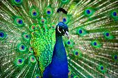 stock photo of peahen  - A male peafowl in Tasmania Cataract Gorge Reserve - JPG