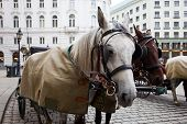 pic of stagecoach  - Horses waiting to whisk tourists around the beautiful city of Vienna - JPG