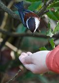 foto of chickadee  - a Chestnut backed Chickadee Brown colour Chickadee - JPG