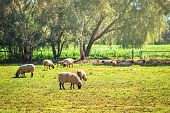 Sheep Grazing On A Daily Farm In Rural South Australia During Winter Season poster