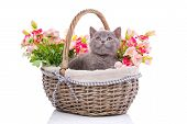 Scottish Straight Kitten. Isolated On A White Background. Playful Kitten Explores New Territory poster