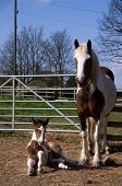 image of fillies  - Days old filly foal lying at her mums feet - JPG