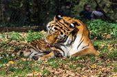 The Siberian Tiger,panthera Tigris Altaica Is The Biggest Cat In The World poster