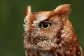 picture of screech-owl  - Red - JPG