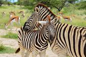 stock photo of grassland  - Zebra with its young calv in Kruger national park in South Africa - JPG