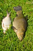 Lake Fishes Tench Orange Eye Bream Green Grass