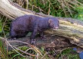 picture of mink  - Mink sitting on log next to water - JPG