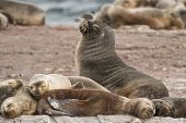 picture of tierra  - a group of females south american sea lions with a male on the rocks in the Beagle Channel Tierra del Fuego - JPG