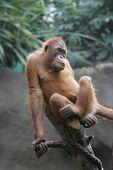 picture of leipzig  - Diesen Oran Utan habe ich im Leipziger Zoo aufgenommen - JPG