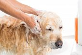 foto of bathing  - A dog taking a shower with soap and water - JPG