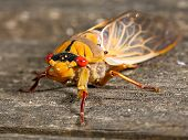 stock photo of exoskeleton  - a Rare Green Grocer Cicada  - JPG