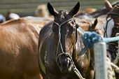 stock photo of transpiration  - Horses of a polo competition after the game - JPG