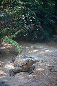 stock photo of komodo dragon  - komodo dragon in nature - JPG