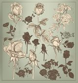 Collection  Of Vector Vintage Hand Drawn Roses For Design