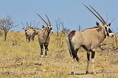 Oryx / Gemsbok - Wildlife Background from Africa - Line of Brothers