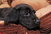 stock photo of bloodhound  - Cute black lab and bloodhound cross male puppy - JPG