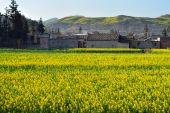 A Large Yellow-green Fields Of Rape