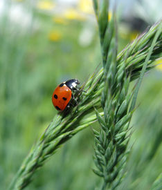 picture of fescue  - Red ladybug sitting on a green grass - JPG