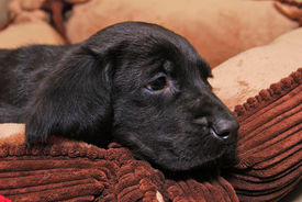picture of bloodhound  - Cute black lab and bloodhound cross male puppy - JPG