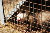 foto of opossum  - a wild opossum caught in a cage - JPG
