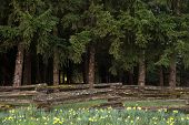stock photo of split rail fence  - Horizontal layers of daffodils a rustic fence and fir trees - JPG