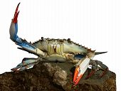 image of blue crab  - Live blue crab in a fight pose on the rock - JPG