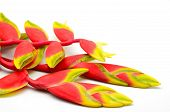 foto of heliconia  - Red Heliconia a tropical flower isolated on a white background - JPG
