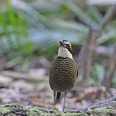 stock photo of belly-band  - Colorful Pitta - JPG