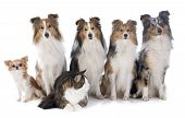 image of coon dog  - shetland dogs maine coon cat and chihuahua in front of white background - JPG
