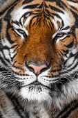 stock photo of tigress  - Close - JPG