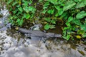 foto of alligator baby  - Alligator - JPG