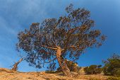 picture of juniper-tree  - juniper tree on rocky coast  - JPG