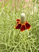 image of prairie coneflower  - coneflower in bloom - JPG