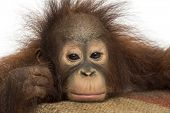 Close-up of a young Bornean orangutan looking tired, looking at the camera, Pongo pygmaeus, 18 month