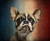 Close-up of a French Bulldog, on a vintage colored background