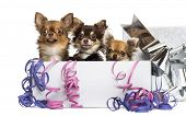 Group of Chihuahuas in a present box with streamers, isolated on white