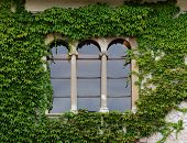 picture of ivy vine  - Castle window with ivy in Slovenia - JPG