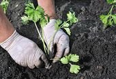 pic of celery  - senior woman planting a celery seedling in the vegetable garden - JPG