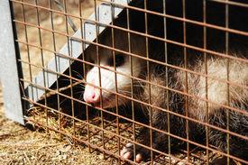 pic of opossum  - a wild opossum caught in a cage - JPG
