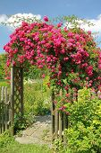 picture of climbing rose  - Flourishing red rambler rose on an arched entrance to the garden - JPG