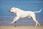 picture of bull-mastiff  - beautiful white happy dog running on the beach  - JPG