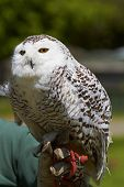 picture of snowy owl  - A snowy owl perching on a falconer