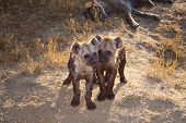 picture of hyenas  - A back lit shot of a Two Spotted Hyena Cubs playing with Mum sleeping behind them - JPG