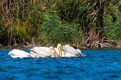 Постер, плакат: Большой белый пеликаны рыбалка