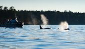 stock photo of orca  - Late evening Orca Killer whales blowing - JPG